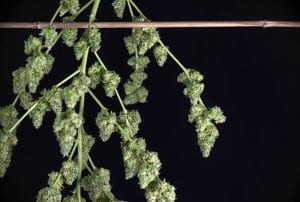 Harvesting Cannabis Drying