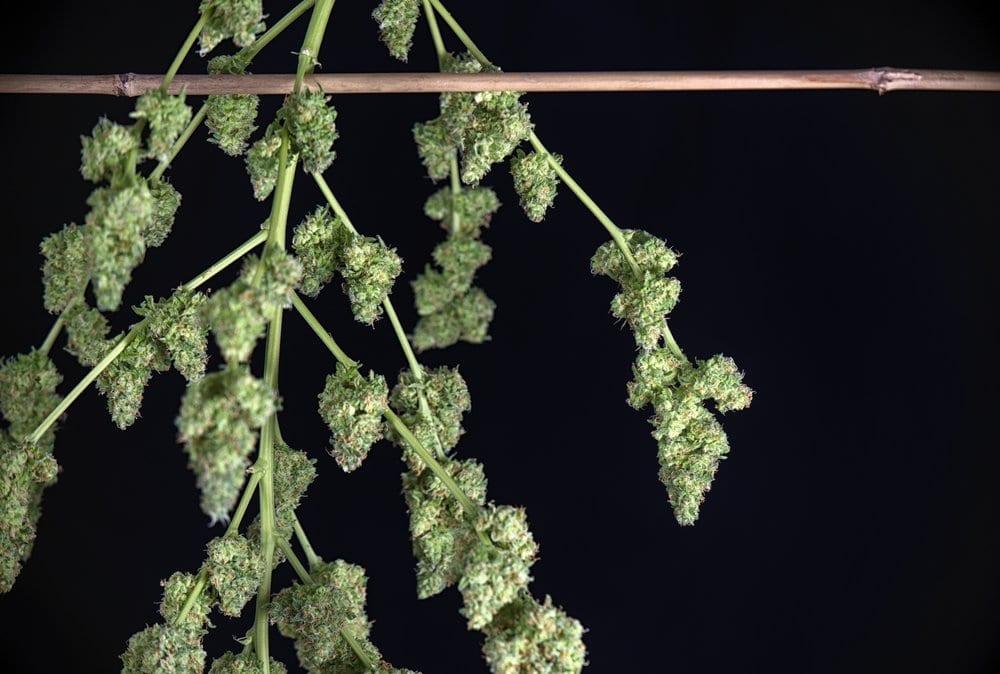 Harvesting Cannabis Drying & Harvesting Cannabis Properly | Leafbuyer