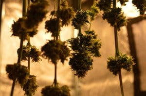 curing weed does weed go bad