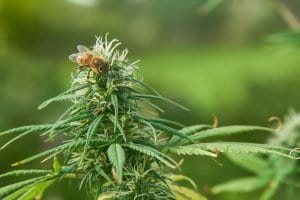 Bees Pollinate Hemp Plants