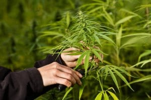 How to Prune Marijuana