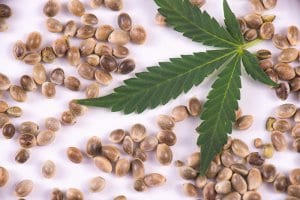 Cannabis Seeds and Marijuana Leaf