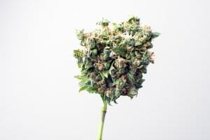 Marijuana Bud Flower