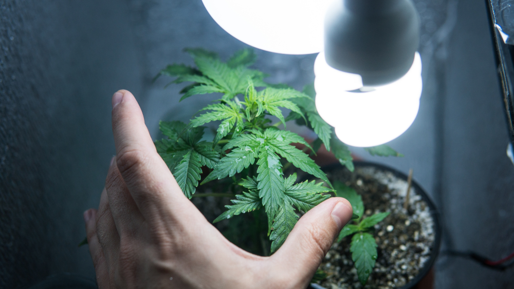 growing a marijuana plant inside