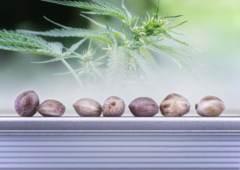 Seeds on Counter by Marijuana Plant