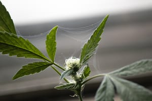 spider webs on marijuana plant