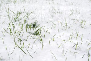 close up image of grass covered in snow with a few pieces sticking out