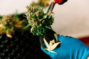 a hand with scissors trimming the leaves off a marijuana plant