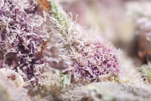 purple cannabis bud macro detail shows the natural and therapeutic chemicals in weed