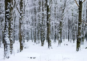 photo of the woods in winter with trees covered in snow and the ground covered in snow