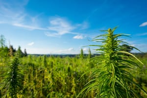 outdoor marijuana farm with blue sky in the background