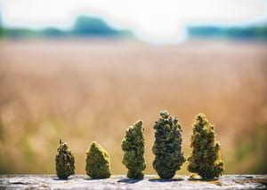 Different cannabis strains to show how you can choose strains based on what effects you want