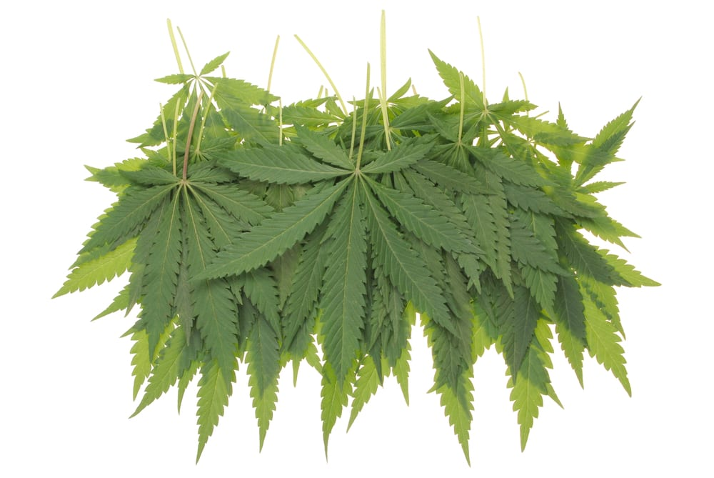 image of beautiful green marijuana leaves hanging in bunches with a white background as an example of cannabis in art