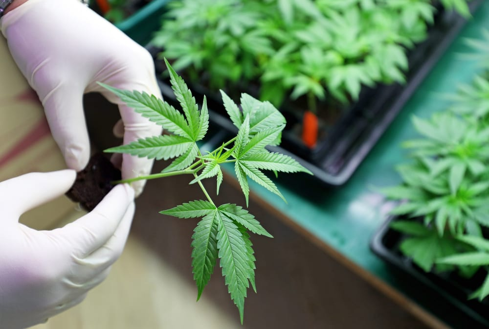 small marijuana plant in a pot being held by gloved hands