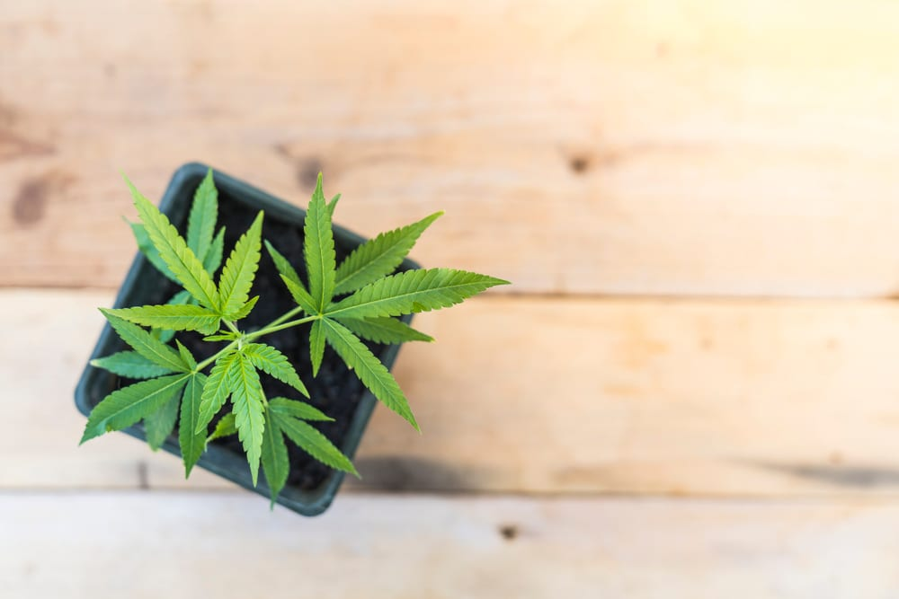 young marijuana plant in a pot on a wood table
