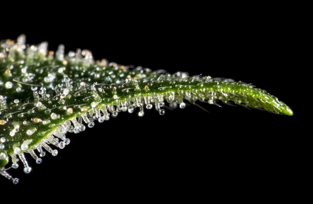trichomes on cannabis leaf