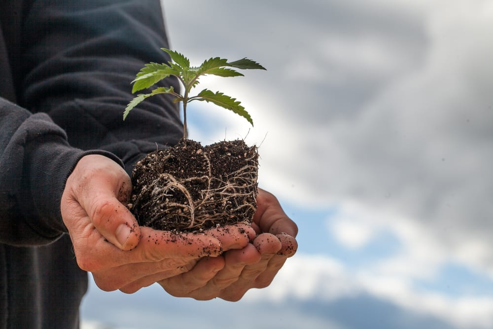 small hemp plant growing in soil to be made into hemp clothing
