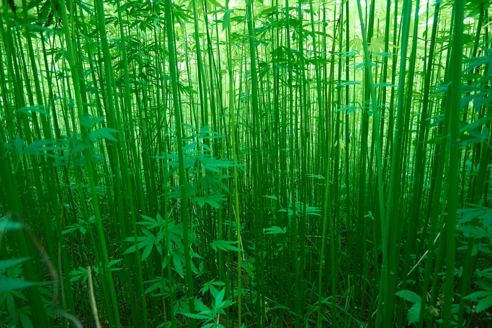 large field of industrial hemp for things like hemp clothing, cbd products, hemp paper
