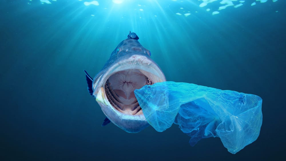 a large fish swims to eat a plastic bag