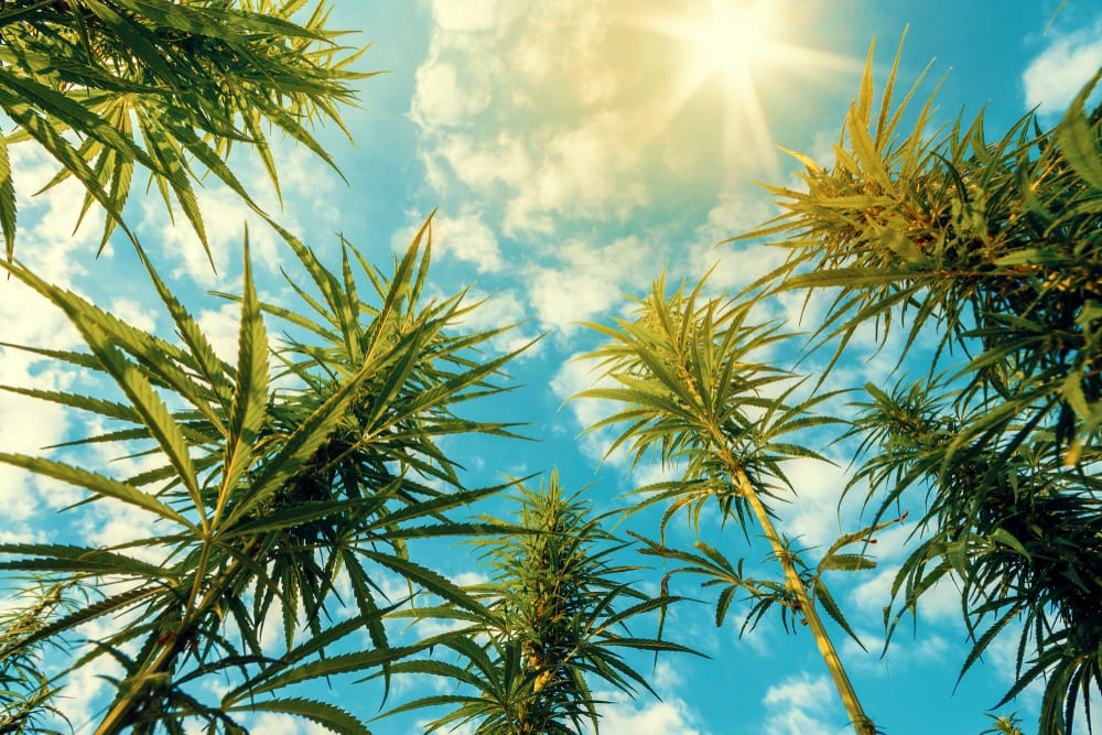 hemp plants and blue sky with sun