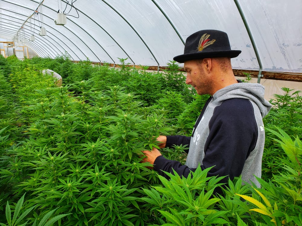 man tends to cannabis plants in a greenhouse