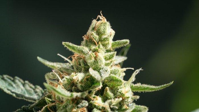 northern lights cannabis strain plant