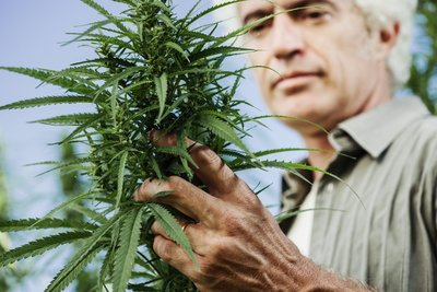 Michigan man checks cannabis plant after Marihuana Board approves cultivation facilities