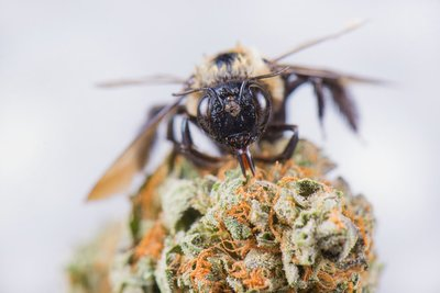 Bee works to pollinate cannabis while on the flower
