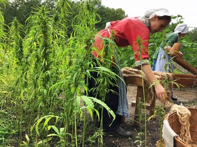 Interpreters Megan Romney, left, and Deb Colburn, right, work to process the hemp harvest Wednesday, Aug. 22, 2018, at George Washington's Mount Vernon estate.
