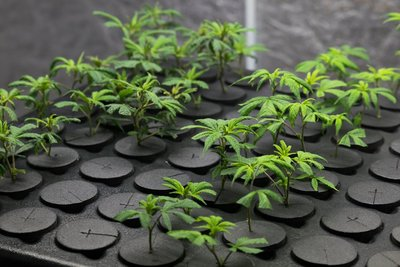 young marijuana clones in Oregon