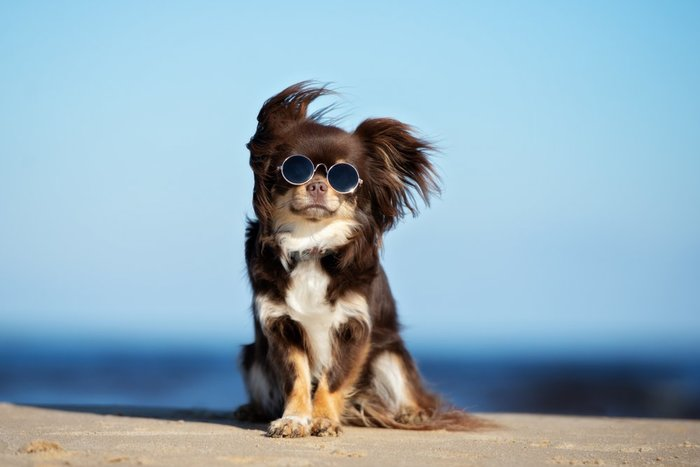 chihuahua wearing sunglasses on a beach displays CBD oil for dogs