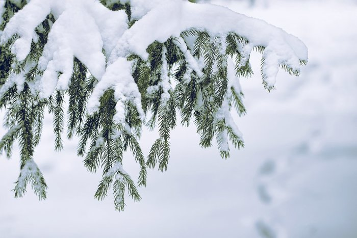 photo of a branch of a pine tree with snow weighing it down, showing how growing winter cannabis is different