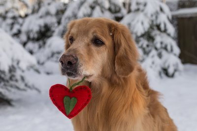 Dog in Canada snow holds felt heart