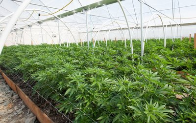 image of the inside of a commercial grow house for marijuana