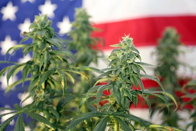 marijuana plants with american flag in the background
