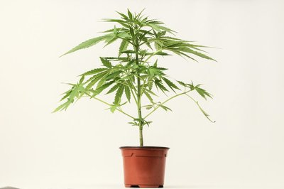 image of a young cannabis plant in a pot