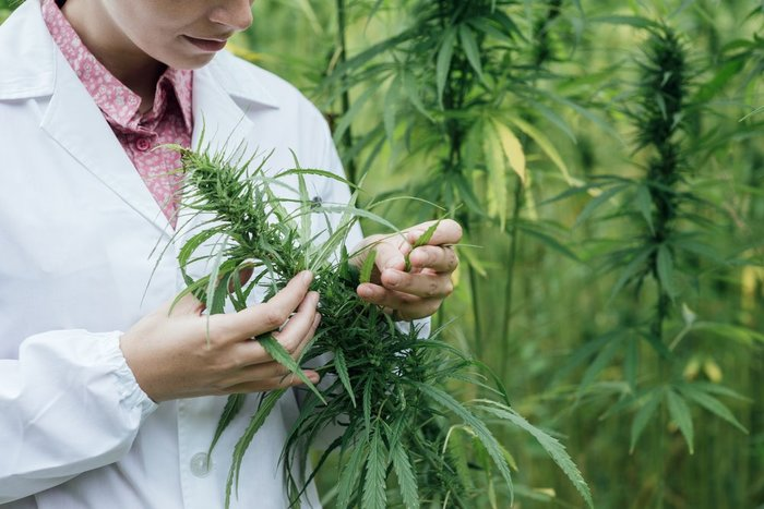 photo of a woman in a lab coat inspecting a cannabis plant in a field of lots of cannabis plants