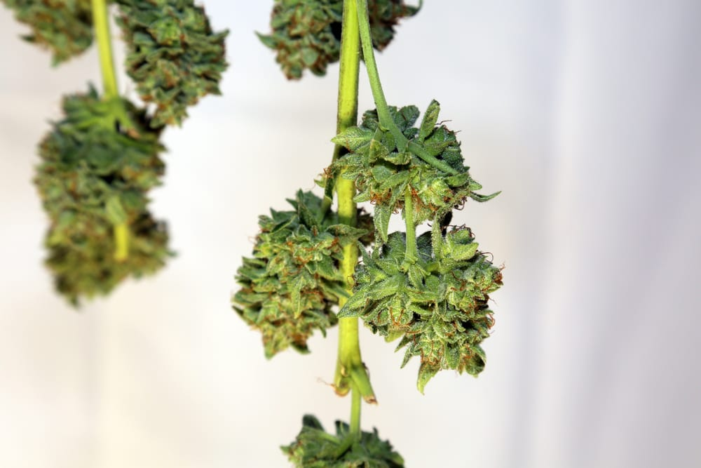 close up of hanging marijuana bud, hang drying which is the best way to dry marijuana