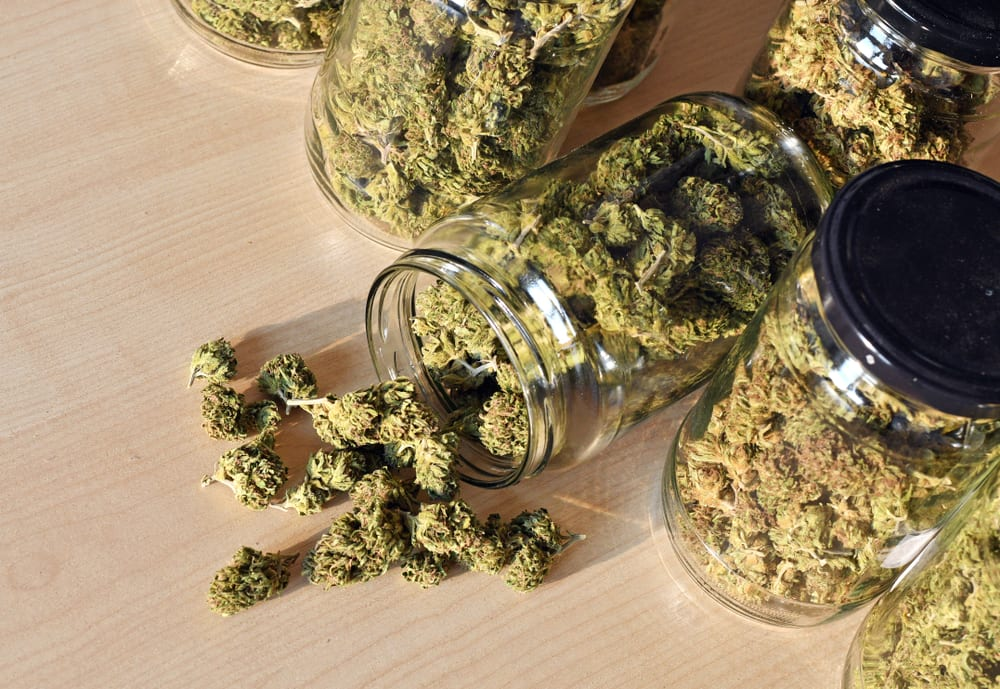 trimmed marijuana in jars