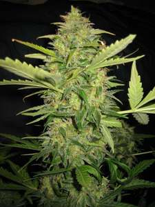 Lemon Skunk image