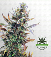 Super Critical Feminized Marijuana Seeds image