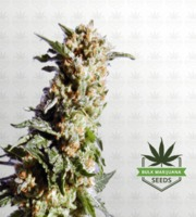 Kosher Kush Feminized Marijuana Seeds image