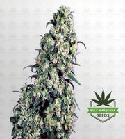Skunk#1 Feminized Marijuana Seeds image