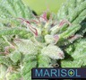 Marisol Therapeutics photo